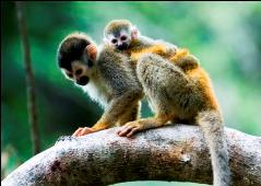 squirrel monkey corcovado national park osa costa rica adventure tour