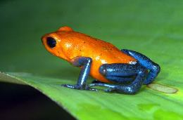 costa rica poison dart frog night bug tour drake bay adventure tours costa rica